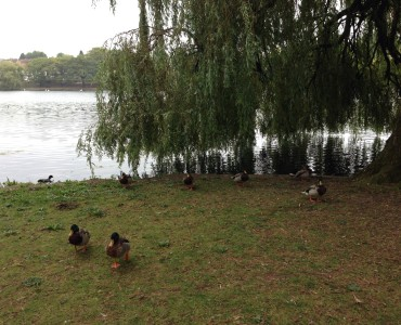 Ducks at Roath Park Lake Cardiff