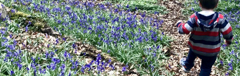 Wenallt Bluebells