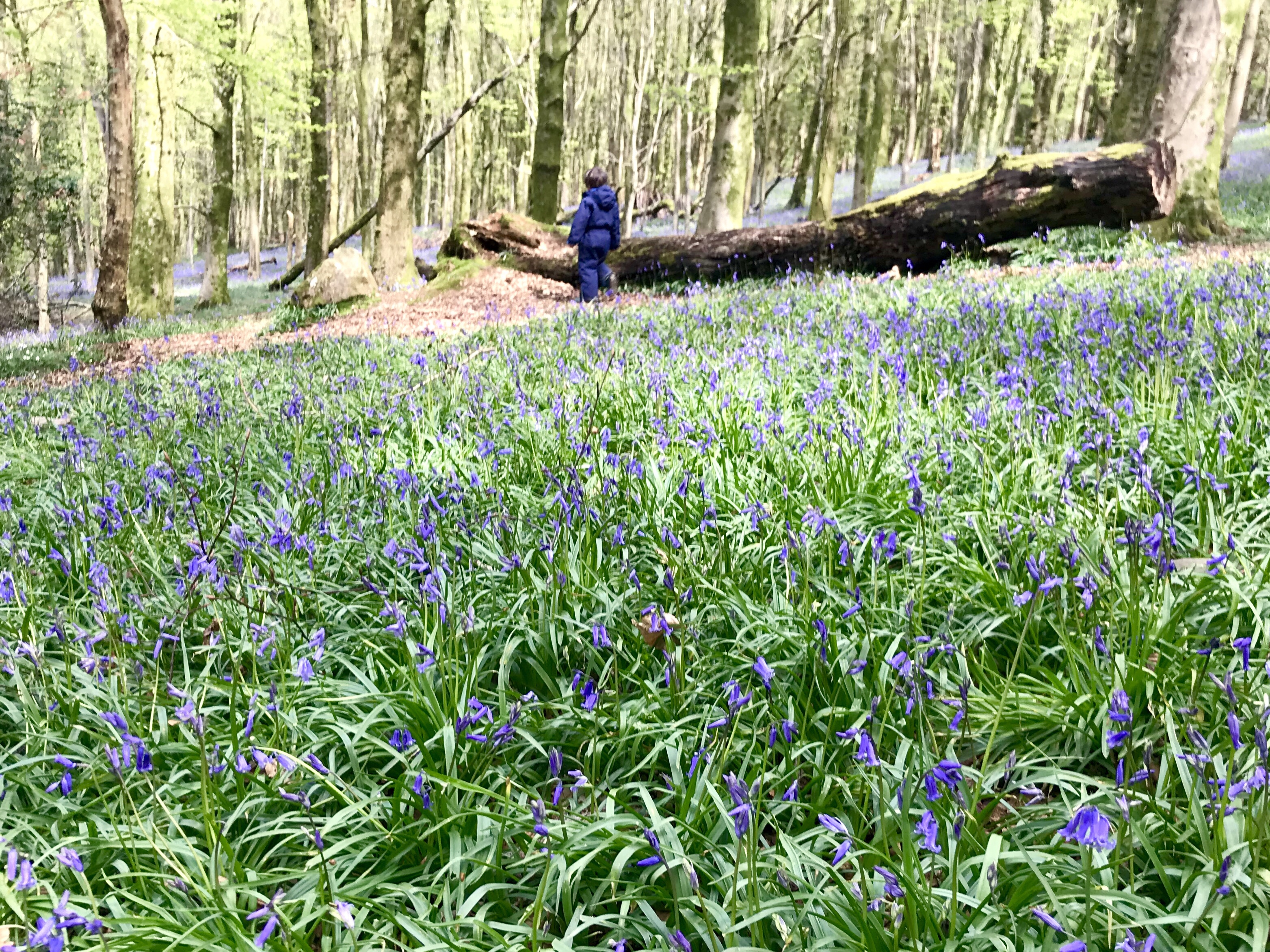 The bluebells are out at Coed y Wenallt Cardiff Cardiff Mummy