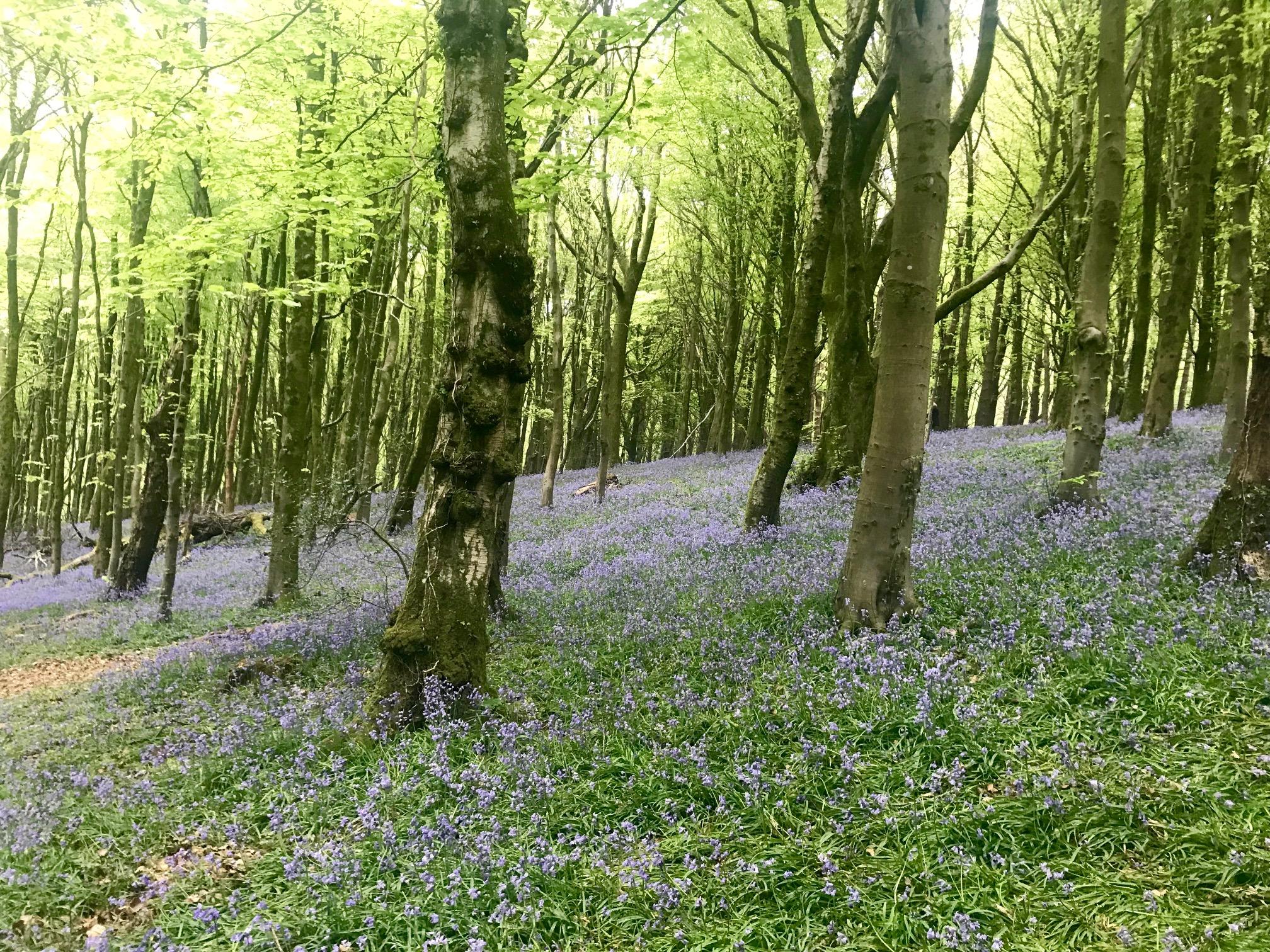Bluebells at Coed y Wenallt Cardiff